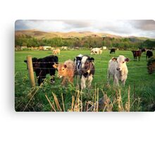 Calves of Llanfairfechan Canvas Print