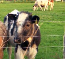 Calves of Llanfairfechan Sticker