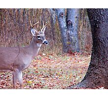 Young Buck Photographic Print