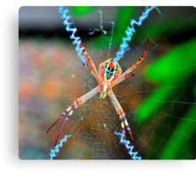 St Andrew's Cross Spider (female). Canvas Print
