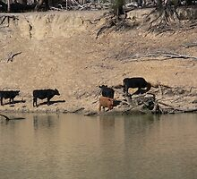 MURRY CATTLE by ANDYONE