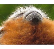Red Titi Monkey Juvenile Looking Up Photographic Print