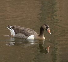 Domestic Goose by Maggie Lee