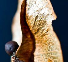 Jacaranda Seedpod by edoray