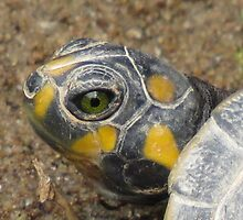 River Turtle Juvenile by Brigid Mary Prain