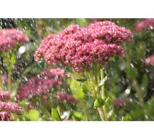 Ice Plant Flower in the Rain Photographic Print