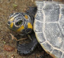 River Turtle Tortuga Poqueña, Juvenile by Brigid Mary Prain