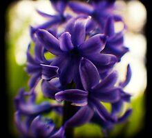 hyacinth TtV by Adam Graham