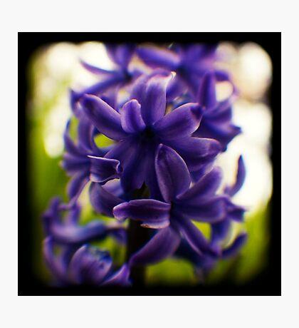 hyacinth TtV Photographic Print