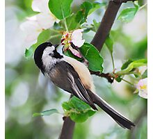 Chickadee Blossoms Photographic Print