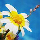 Two Tone Daisy by Olga Sotiriadou