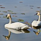 Trumpeter Swans in Sync by Gerda Grice
