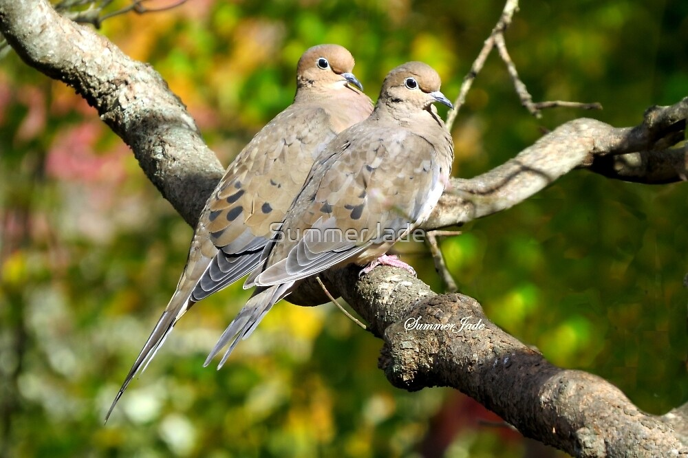 Sweethearts ~ A Pair of Doves by SummerJade