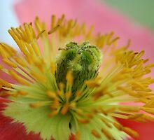 Poppy by SKNickel