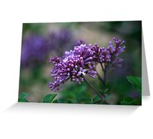 Dwarf Korean Lilac Greeting Card