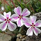 Phlox Subulata Candy Stripe by Barrie Woodward
