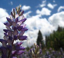 Lupin Flowers by nokomis
