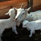 Mama Goat and her twins by Marjorie Wallace