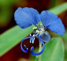COMMELINA BENGHALENSIS - Benghal blue wandering Jew - Blouselblommetjie by Magriet Meintjes