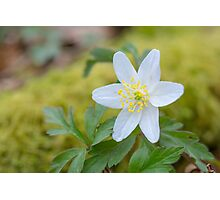Wood Anemone in Spring Photographic Print