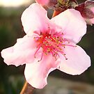 Peach Tree Blossom Macro by taiche