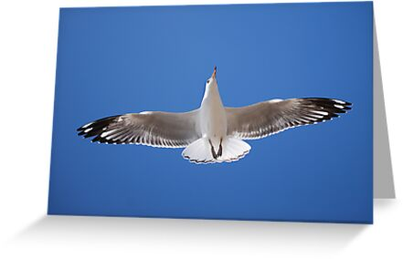 'Silver Gull' by Ian Berry