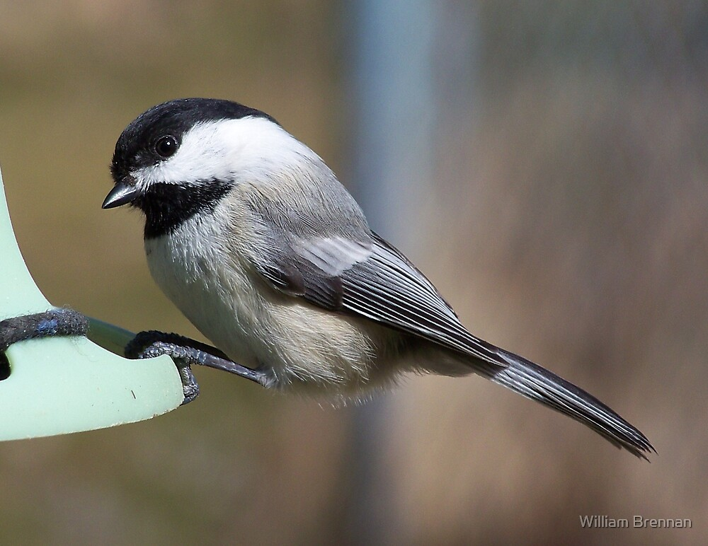 Black-capped Chickadee. by William Brennan