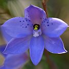 Dotted sun orchid .. Thelymitra ixioides by Michael Matthews