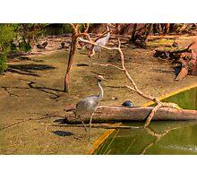 Swamp Birds Photographic Print