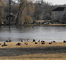 Whole Lotta Canadian Geese! by Les Wazny
