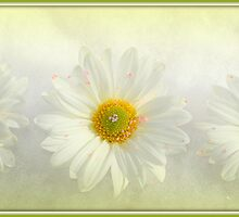 Shasta Daisies by jujubean