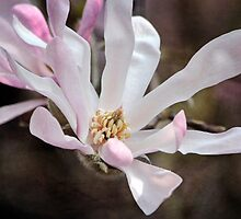 Magnolia Stellata by Astrid Ewing Photography