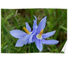 Another Texas Blue Wildflower Poster
