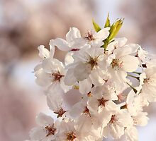 Cherry Blossoms by Tracy Friesen