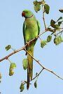 Rose-Ringed Parakeet  by David Clark