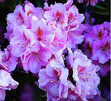 Rhododendrons by Nancy Richard