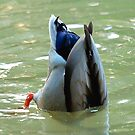 Bottom's Up Dabbling Duck by taiche