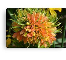 Rare orange fritillaria flower Canvas Print