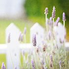 Lavender by shanarae