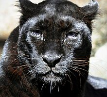 Black Leopard by Savannah Gibbs