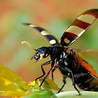 *CEROCTIS CAPENSIS* - IN ALL MY GLORY....HERE I COME! THE SPOTTED  BLISTER BEATLE! by Magaret Meintjes