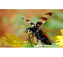 *CEROCTIS CAPENSIS* - IN ALL MY GLORY....HERE I COME! THE SPOTTED  BLISTER BEATLE! Photographic Print