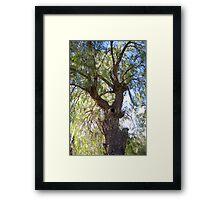 A beautiful Peppercorn tree Framed Print