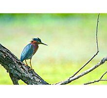 Green Heron Photographic Print