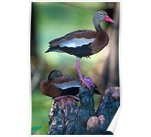 Black-Bellied Whistling-Duck Poster