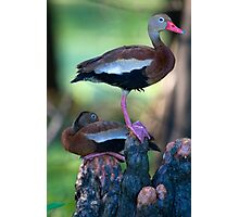 Black-Bellied Whistling-Duck Photographic Print