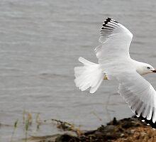 Seagull in Flight by Frank Donnoli