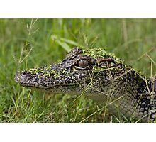 Juvenile Alligator Photographic Print