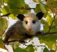 Baby Opossum by steini