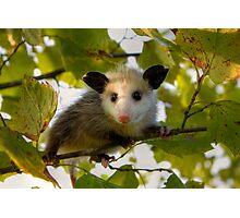 Baby Opossum Photographic Print